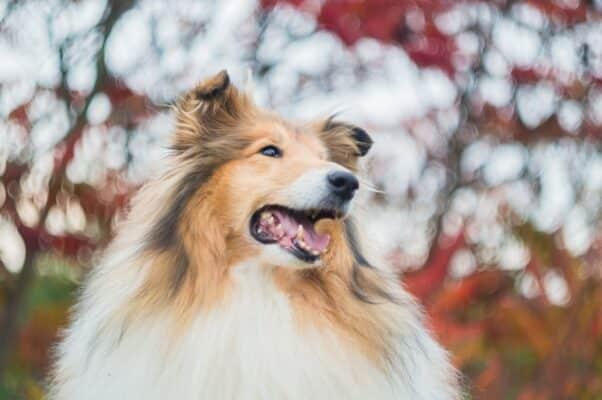 Donner spiruline chien chiot avantage meilleur complément alimentaire bienfaits