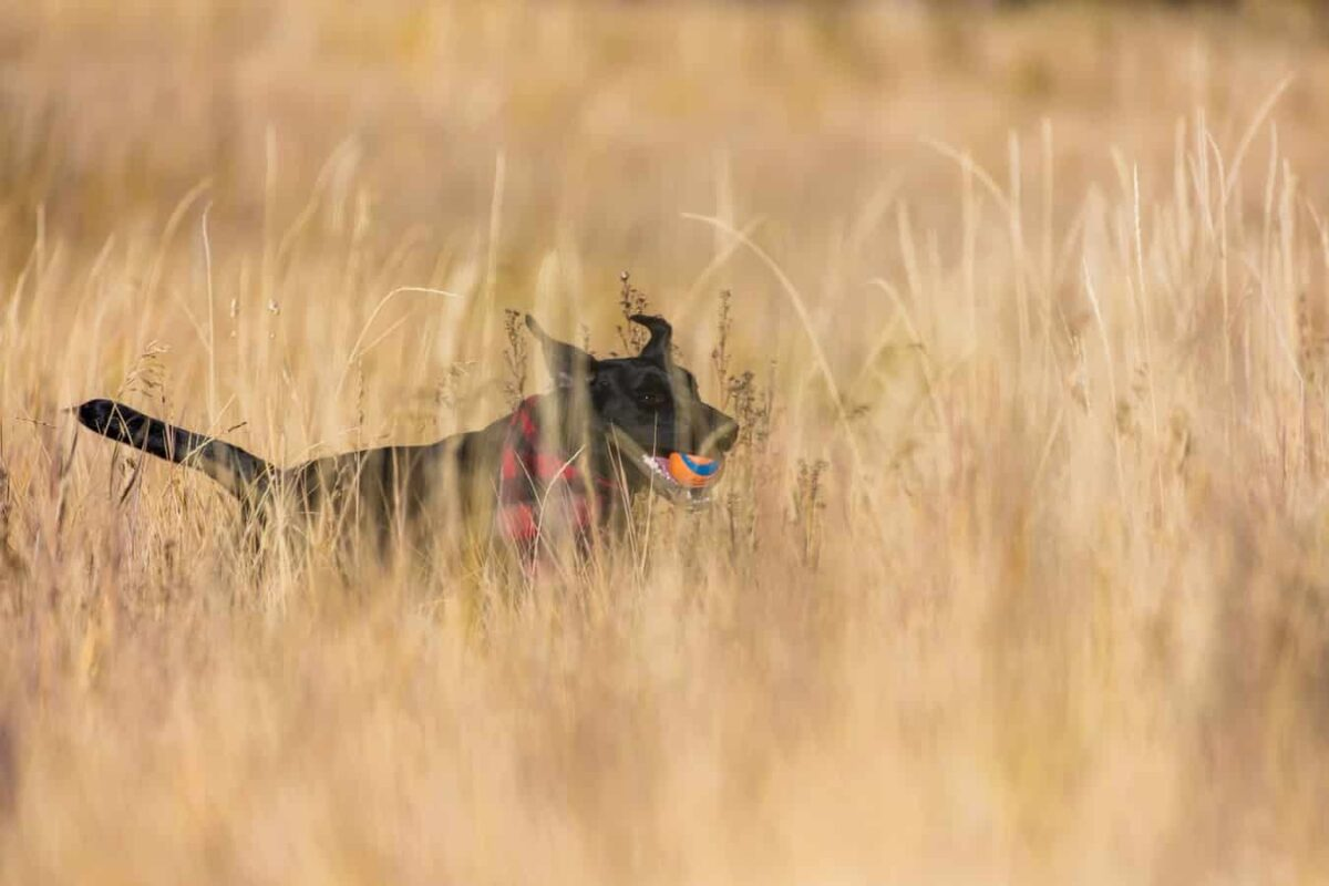 epillet chien patte nez gorge ventre symptôme