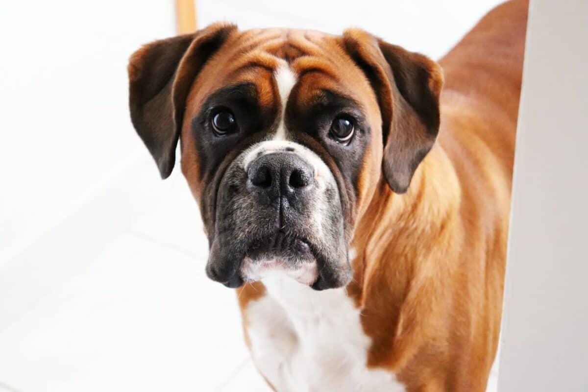 Boxer race de chien caractéristique