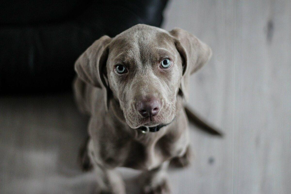 race chien gris yeux bleu