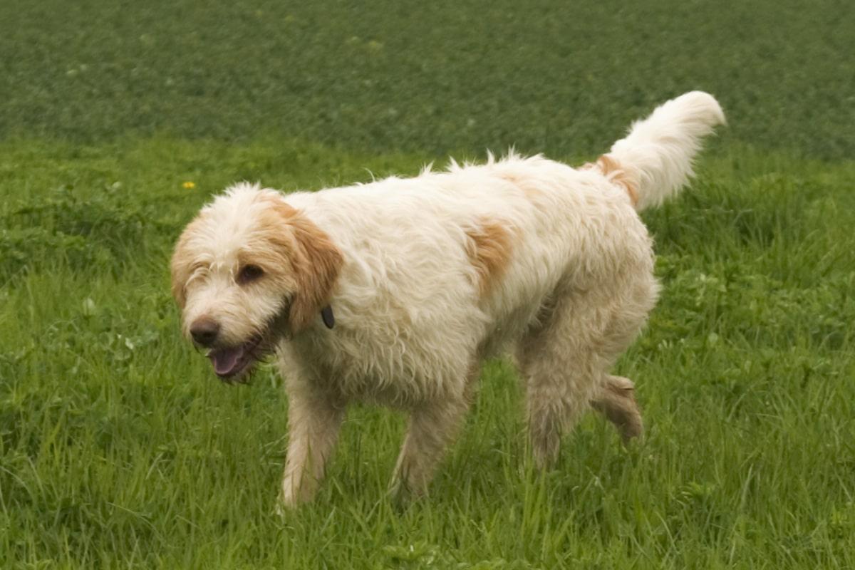 griffon beige dans l'herbe