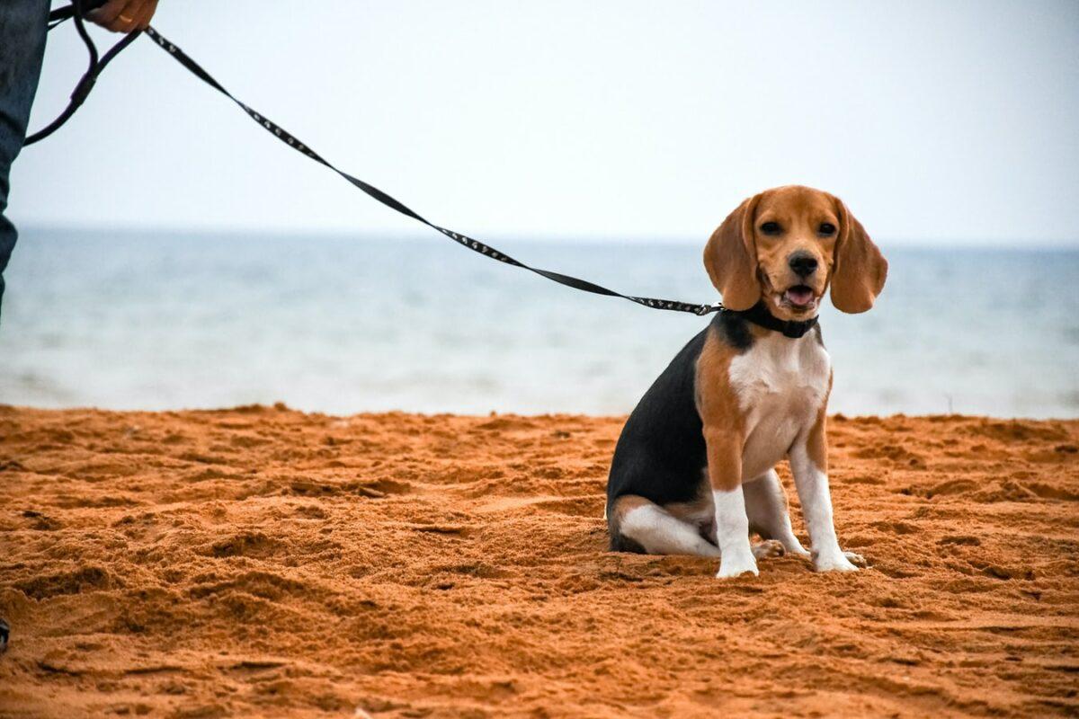 beagle race de chien