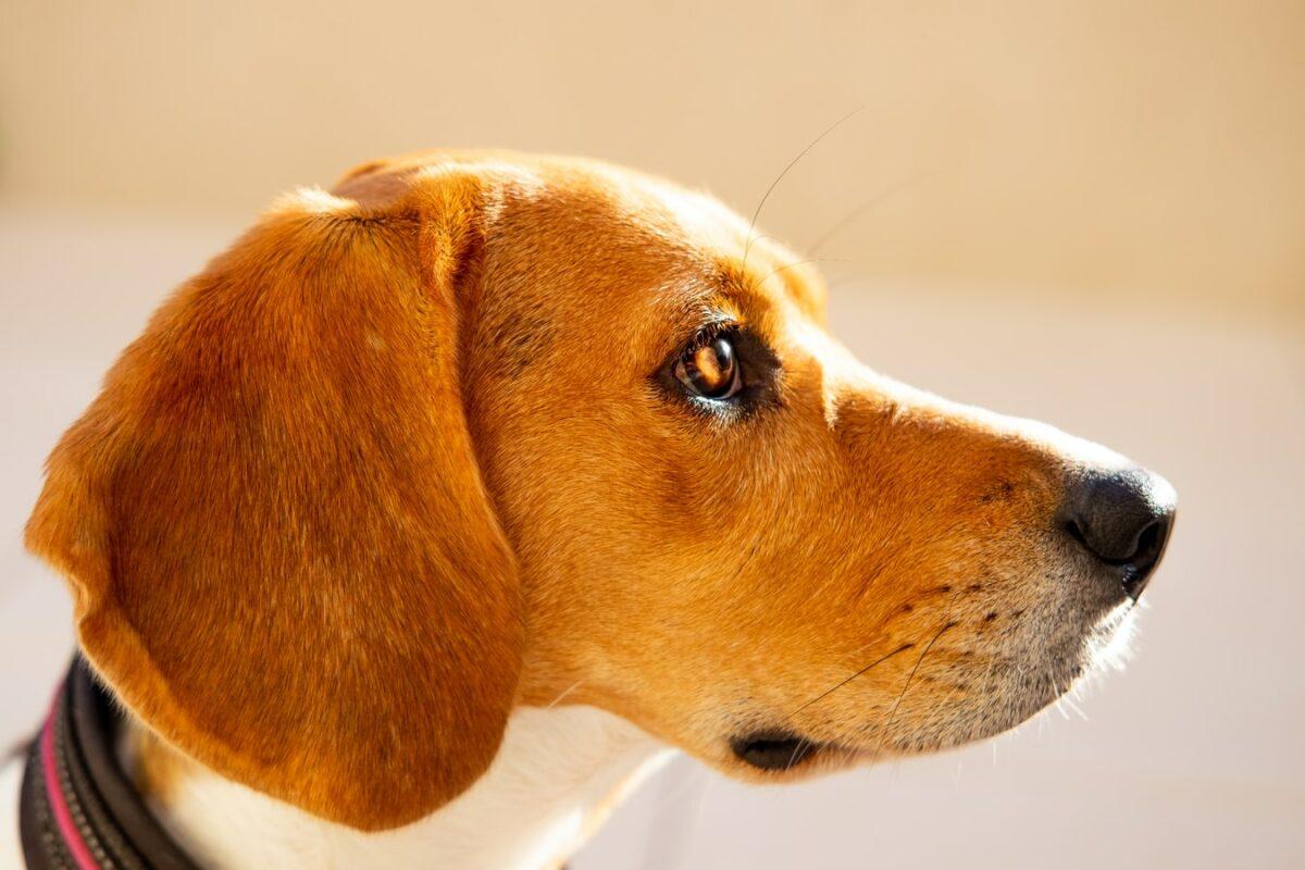 beagle de profil museau long soleil roux marron feu