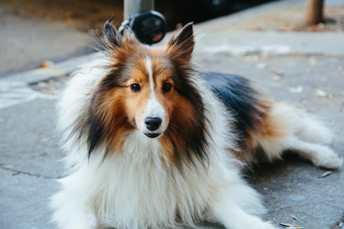 chien de berger Shetland marron blanc feu