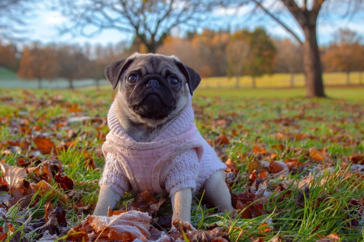 carlin avec petit pull pour chien dans un par en automne