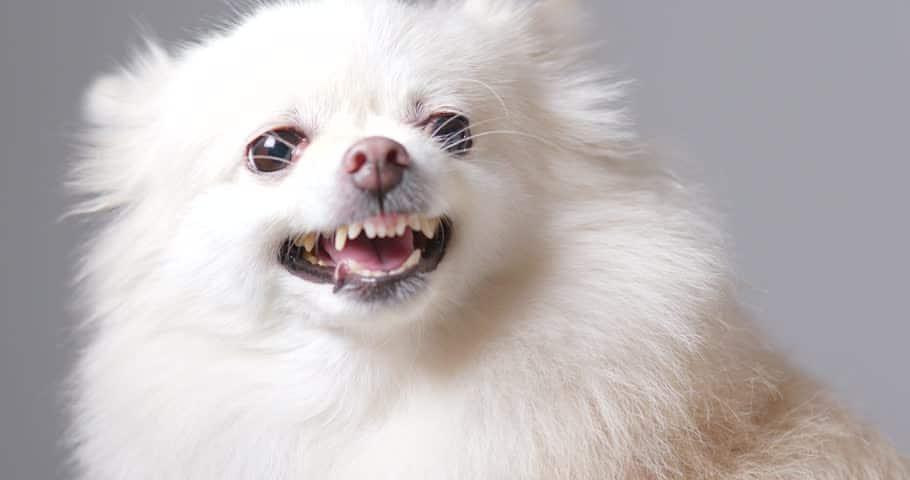 pomeranien blanc agressif qui grogne