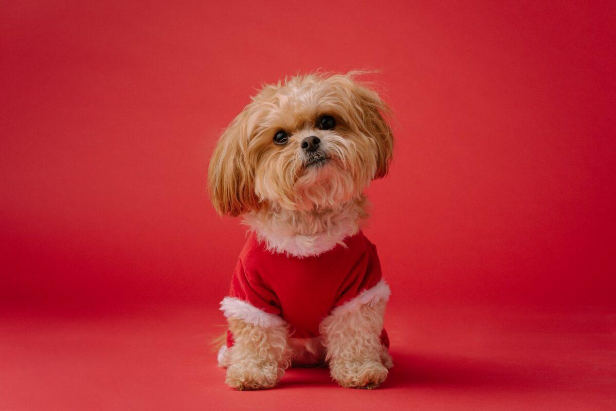 chien perd pas poil race belle meilleur allergie