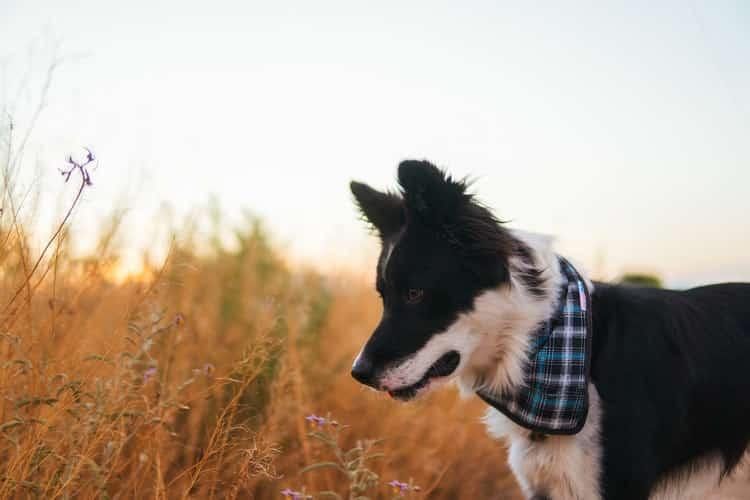 border collie dans champs avec bandana à carreau