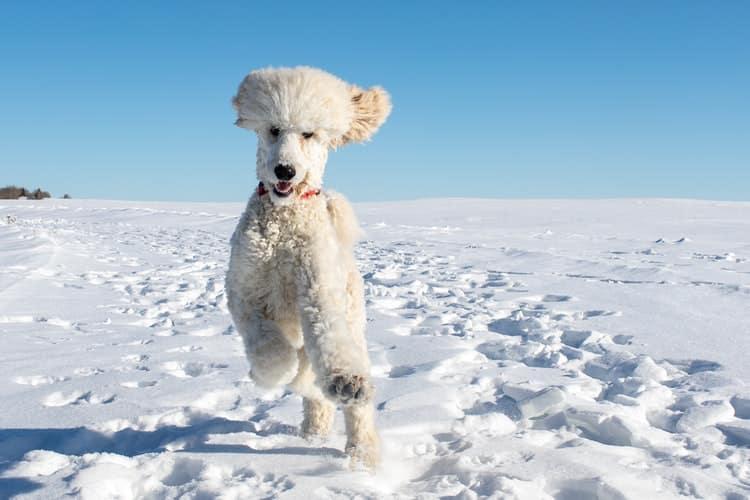 caniche blanc qui court joue dans la neige