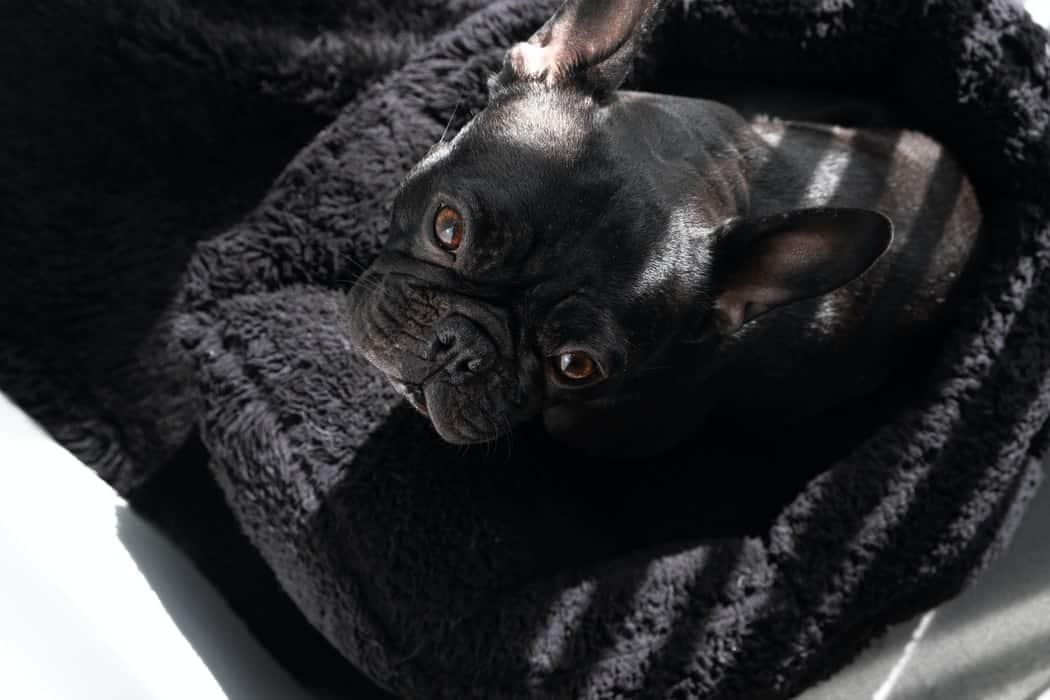 chien malade étérnuement inversé reverse sneezing