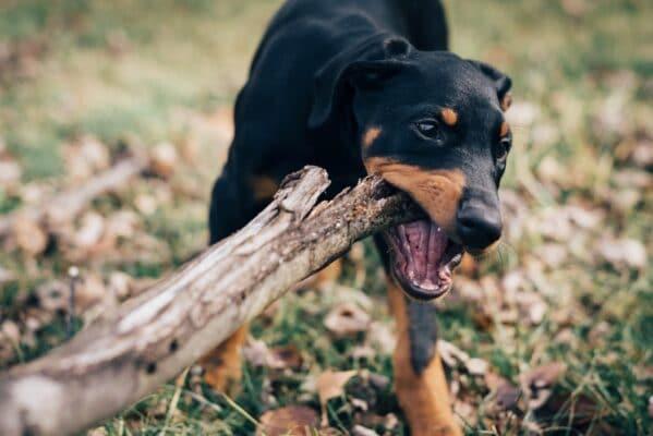 chien qui mache comportement