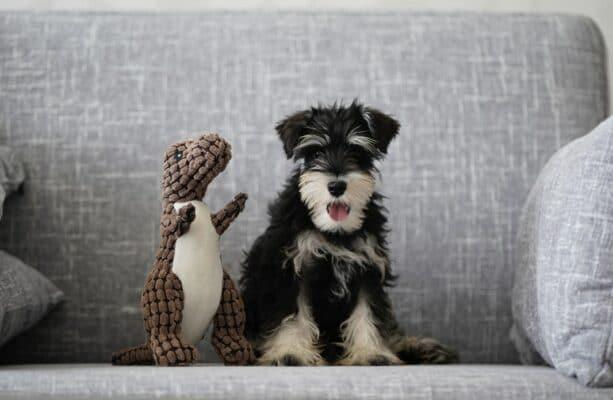 maladie addison chien symptome traitement vétérinaire