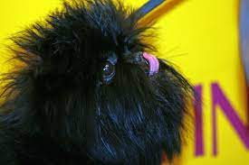 affenpinsher noir qui se lèche la truffe