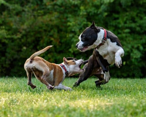 chien mordu par un autre chien que faire