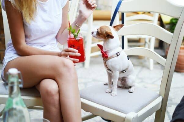 chihuahua chien de petite taille