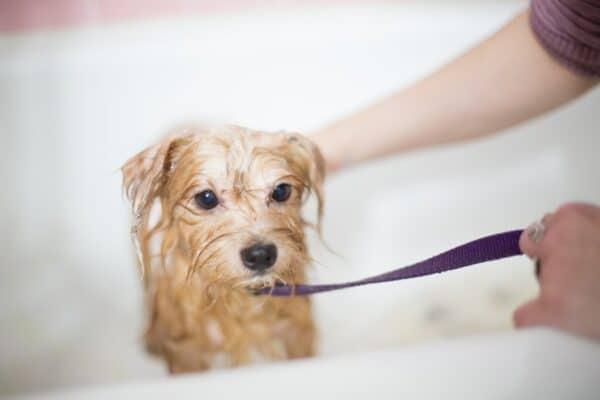 astuces conseil laver chien peur de l eau