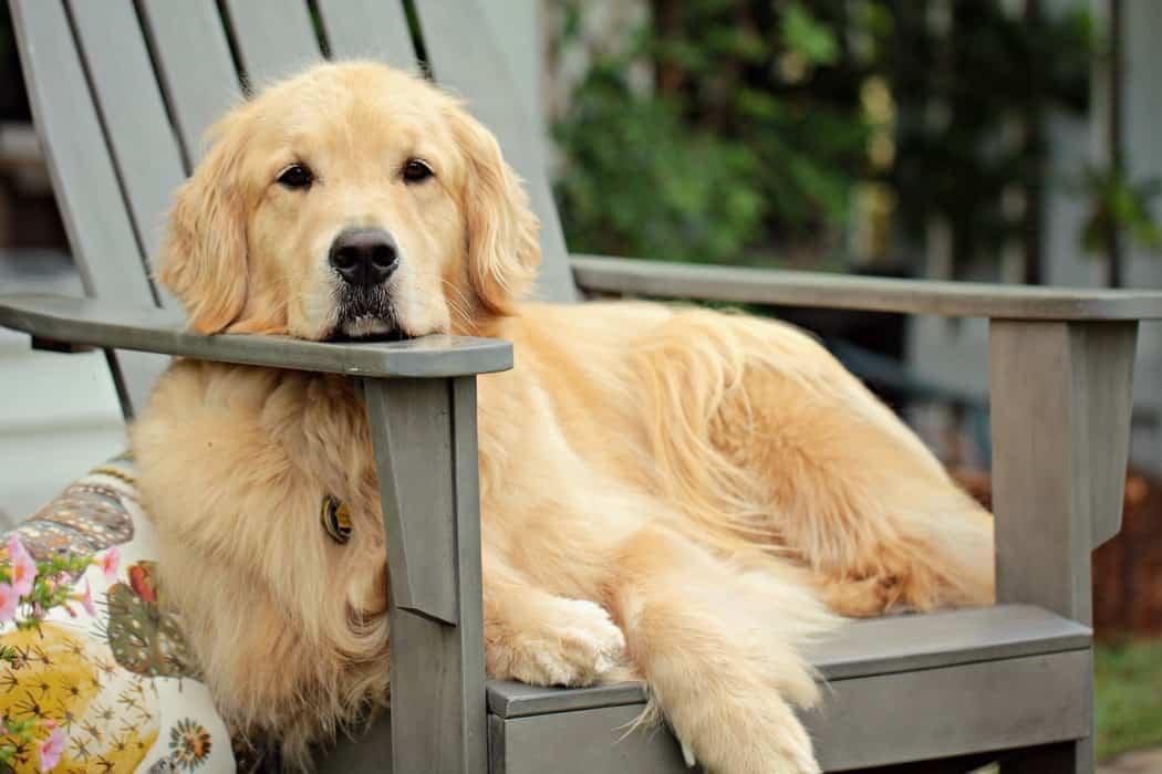 golden assis sur chaise dehors dans le jardin