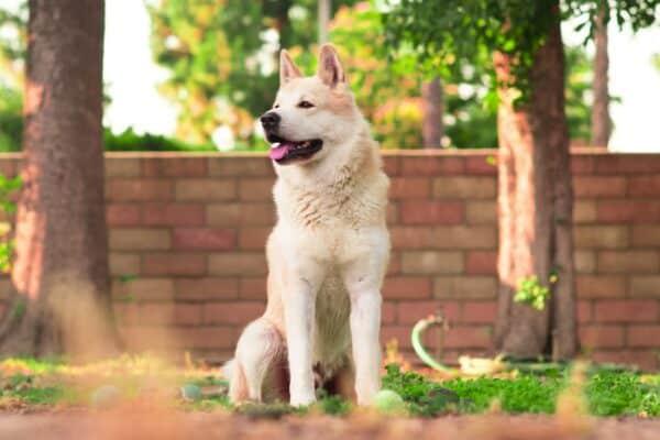maladie foie chien race signes symptome traitement
