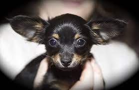 petit chien russe qui tient dans une pomme de main