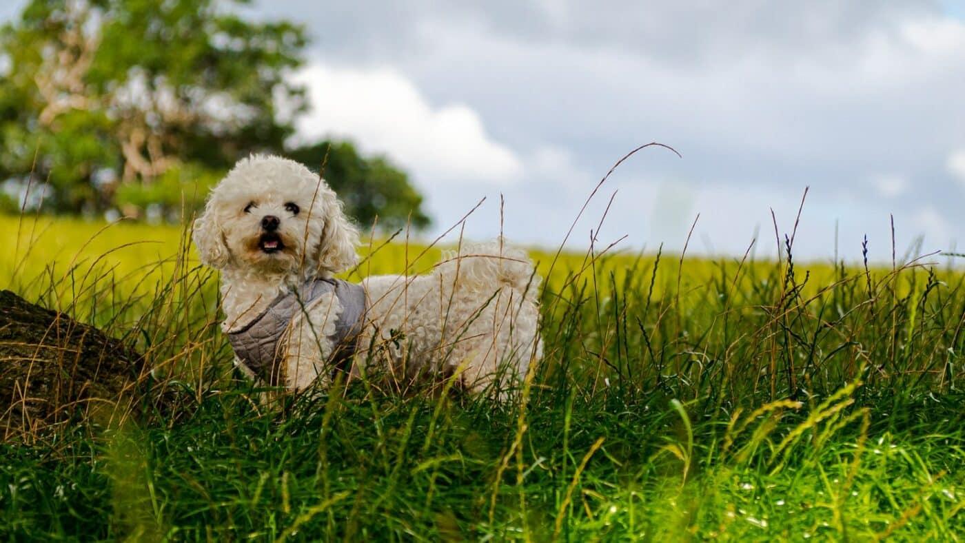 bichon frisé qui joue dans l'herbe avec manteau