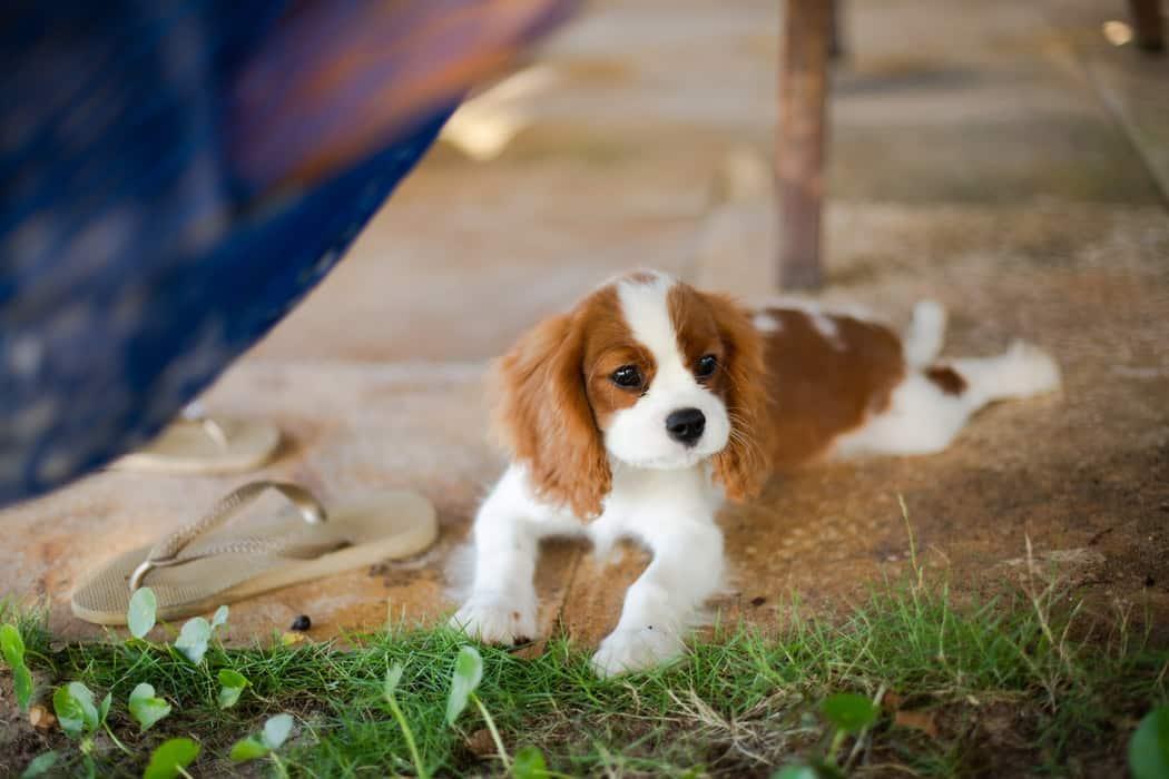 affectueux chien race comportement