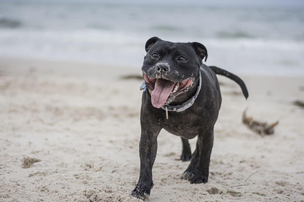 staffie qui court sur la plage nez plein de sable heureux