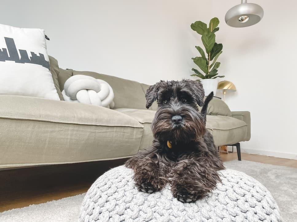 pellicules chiens cause traitement naturel solution