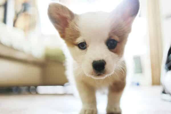 dents de lait chien chiot tombe comment passe