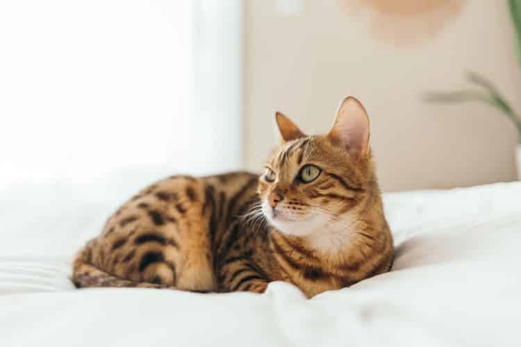 chat du bengal savoir comprendre vétérinaire
