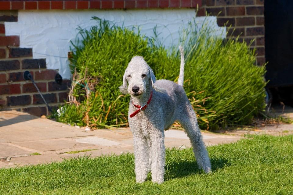 Bedlington terrier chien jardin blanc ressemble mouton caniche grand