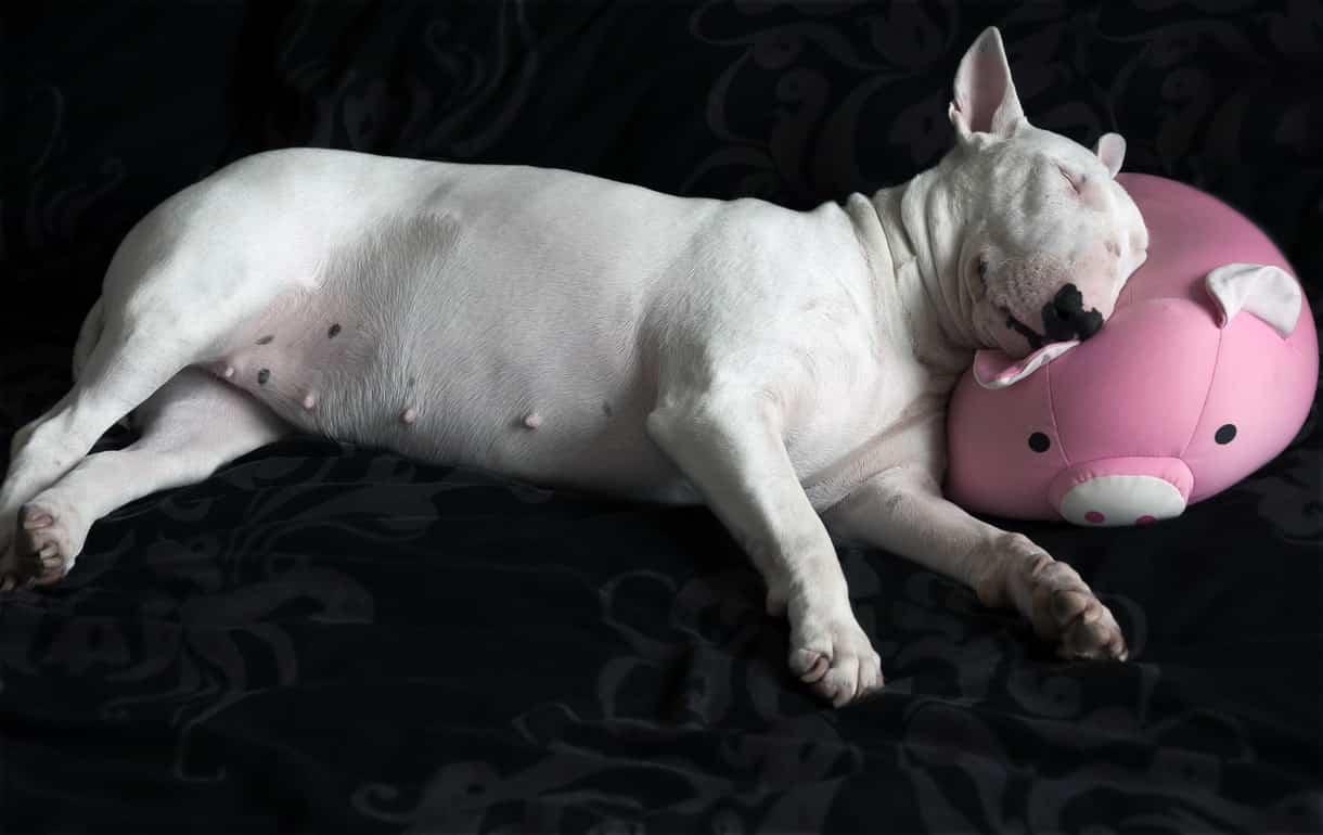 bull terrier blanc allongé sur coussin rose cochon