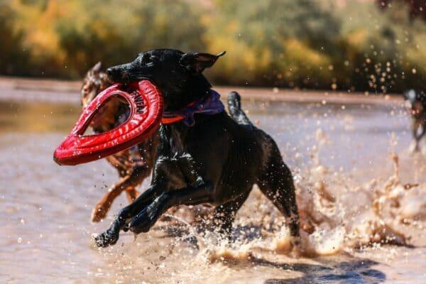 chien qui joue avec bouée dans l'eau et autre chien court dans l'eau