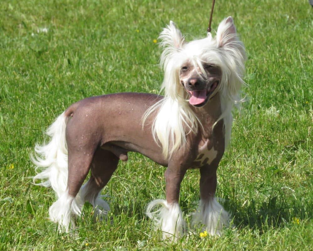 chien chinois a crete nu sans poil blanc