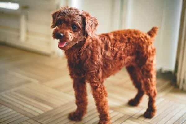mon chien perd ses poils et a des plaques