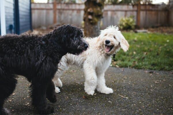 meilleure solutions contre puces chien