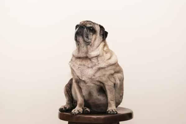 chien moche fier sur estrade