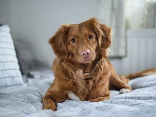 Tumeur mammaire chien