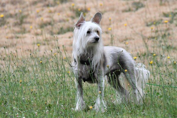 chien chinois à crête toiletter bien coiffé dans la nature tout le corps entier