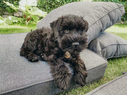 chien noir sur coussin tricoté beige parvovirose