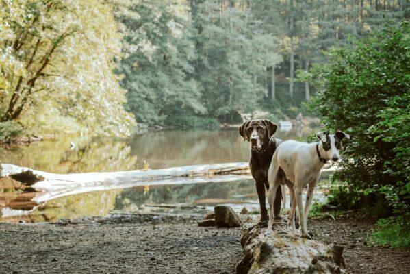 deux chiens sur troncs d'arbre l'un derriere l'autre blanc et noir renifle