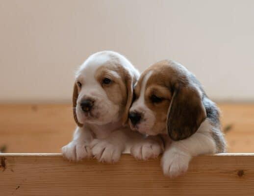 deux chiots beagle copain boite mignon accueillir chiots maison