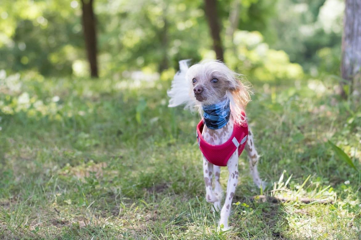 chien chinois a crete nu habillé pull rouge et foulard dans la nature dermatite