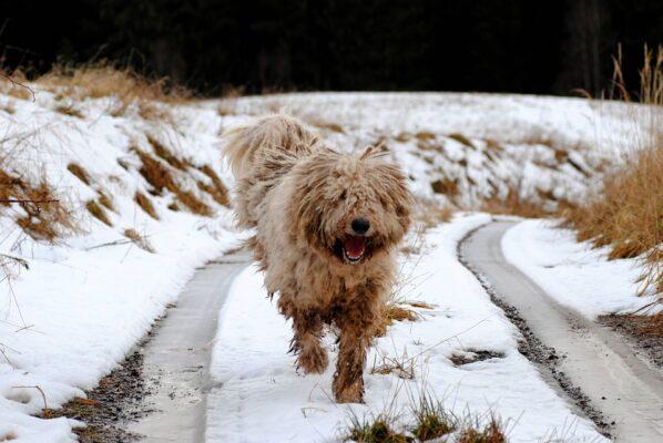 race de chien komondor serpillère hongrois dread rasta court dans la neige