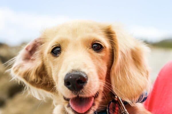 chien gros plan tête langue heureux bruit gorge
