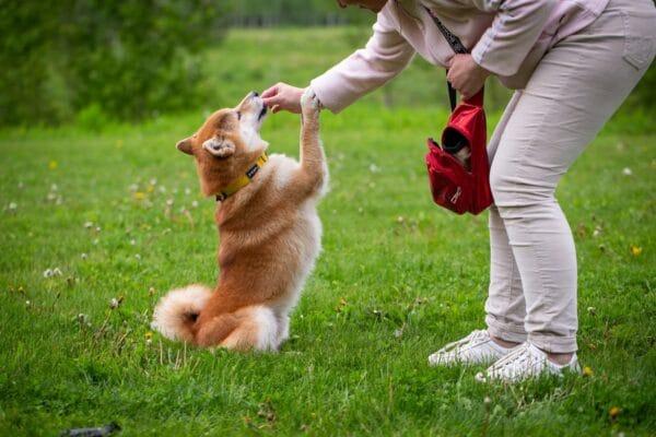 chien qui fait le beau shiba tour friandise apprentissage