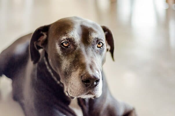 vieux chien moustache museau blanc allongé vieillit