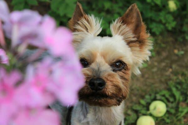 yorkshire terrier chien jardin fleur rose tondu toiletté