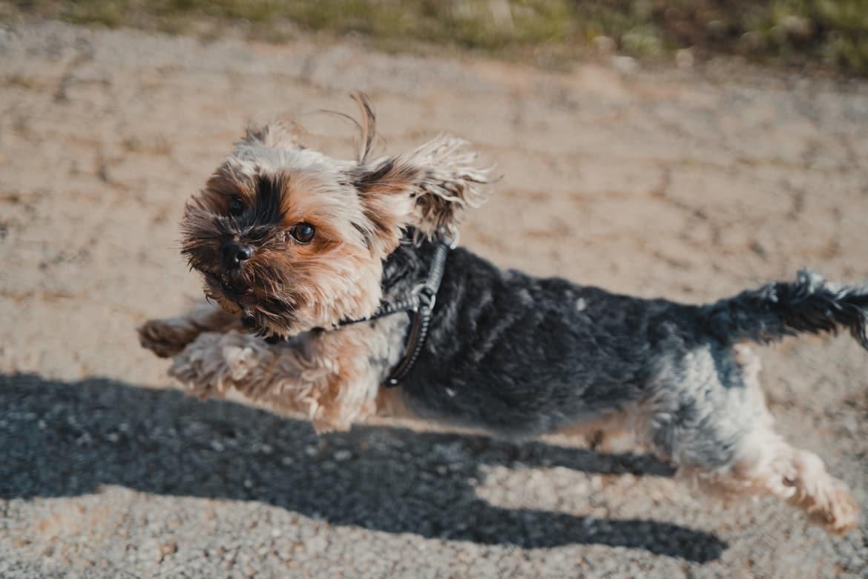 yorkshire terrier qui court saute sur route avec harnais